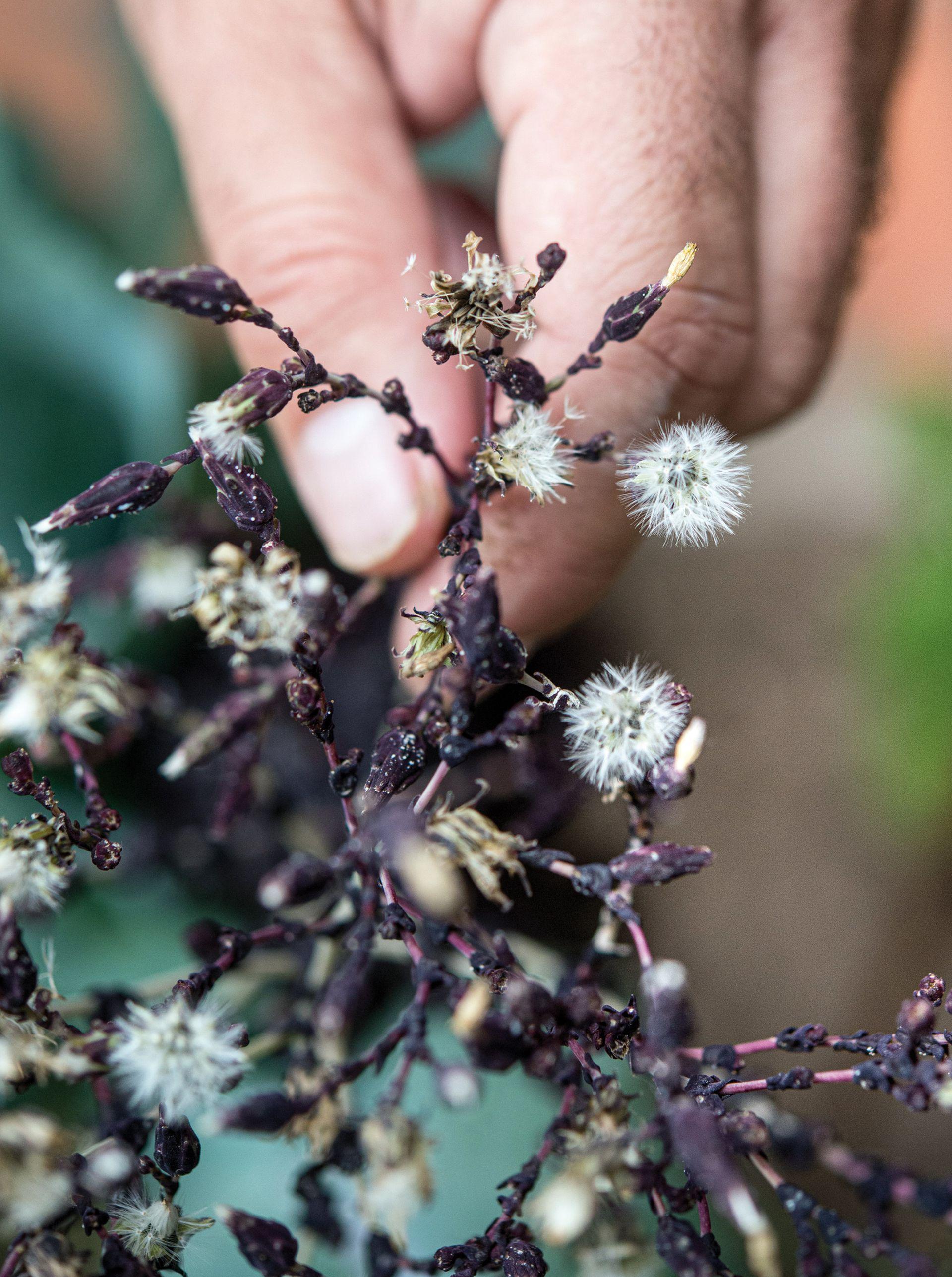 Las lechugas deben dejarse espigar para florecer y luego fructificar, y así proceder a la cosecha de semillas.