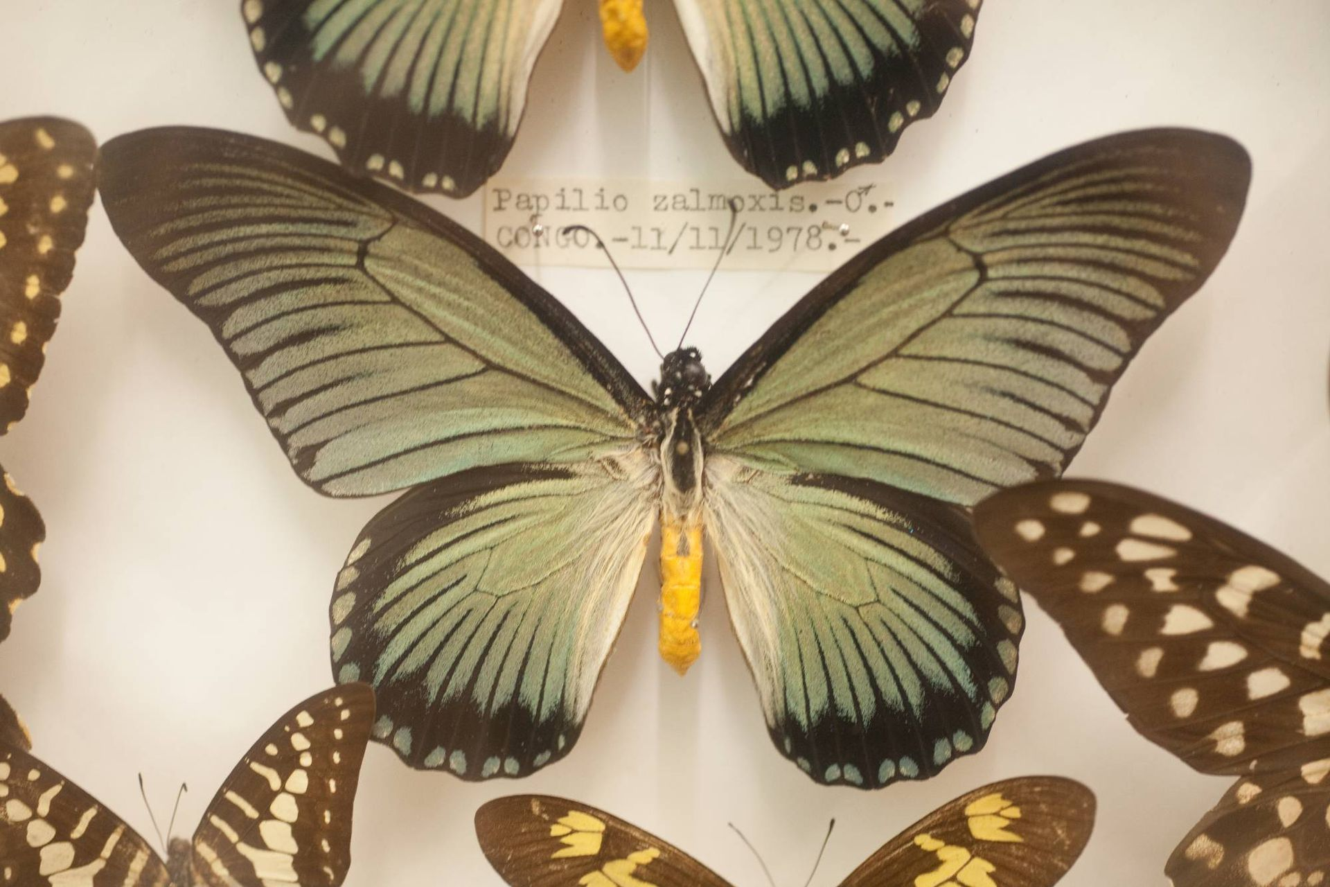 Ejemplares de belleza absoluta se exhiben en Butterflies.