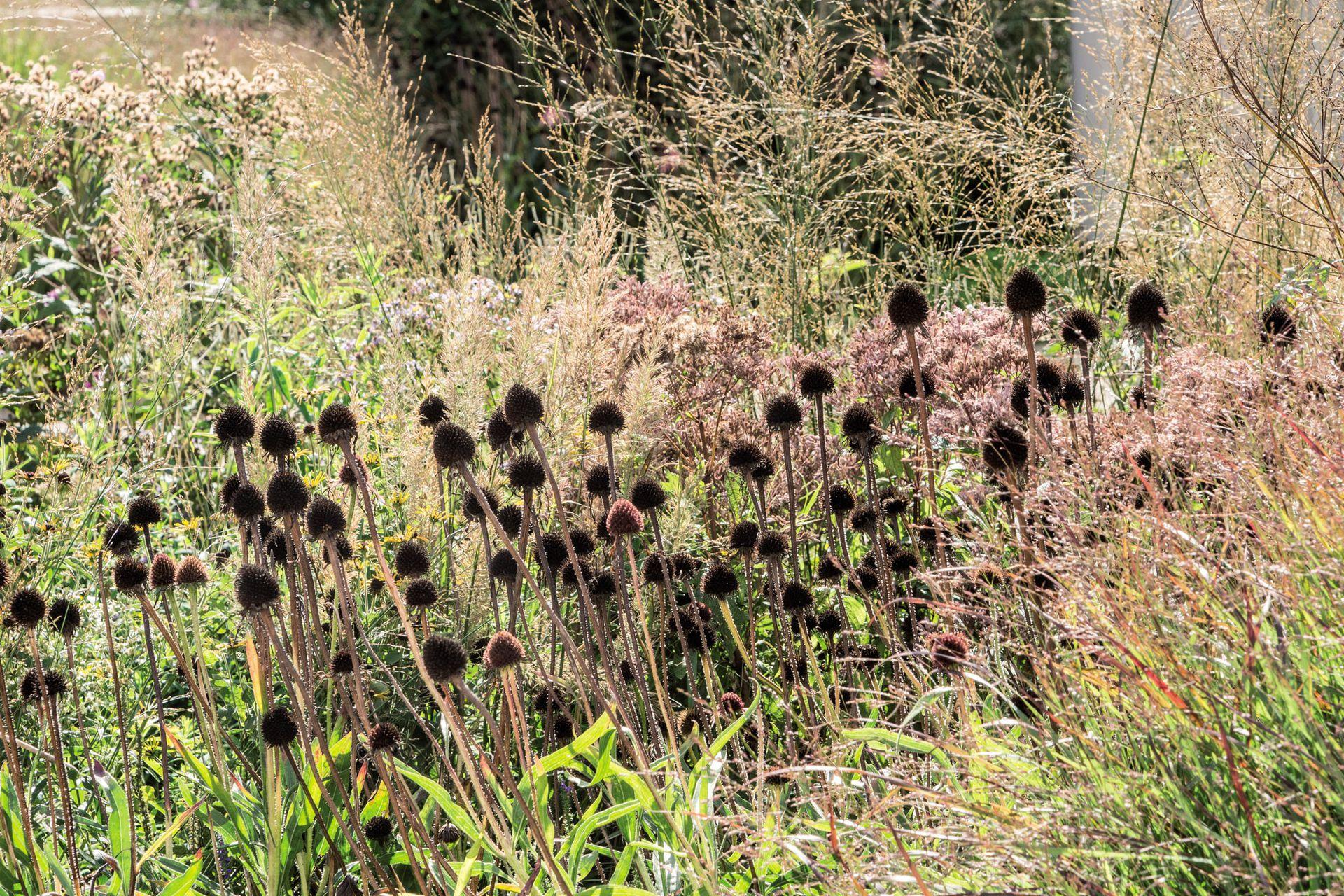 Hacia mediados del otoño quedan pocas flores, entonces las cabezas de las echináceas ya secas son muy valoradas para contrastar con las espigas etéreas de las gramíneas.
