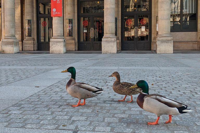 Cisnes y patos volvieron a nadar en el Sena y algunos tomaron las calles de París.
