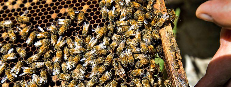 ¿Adiós a la miel? Los riesgos que acechan a los apicultores