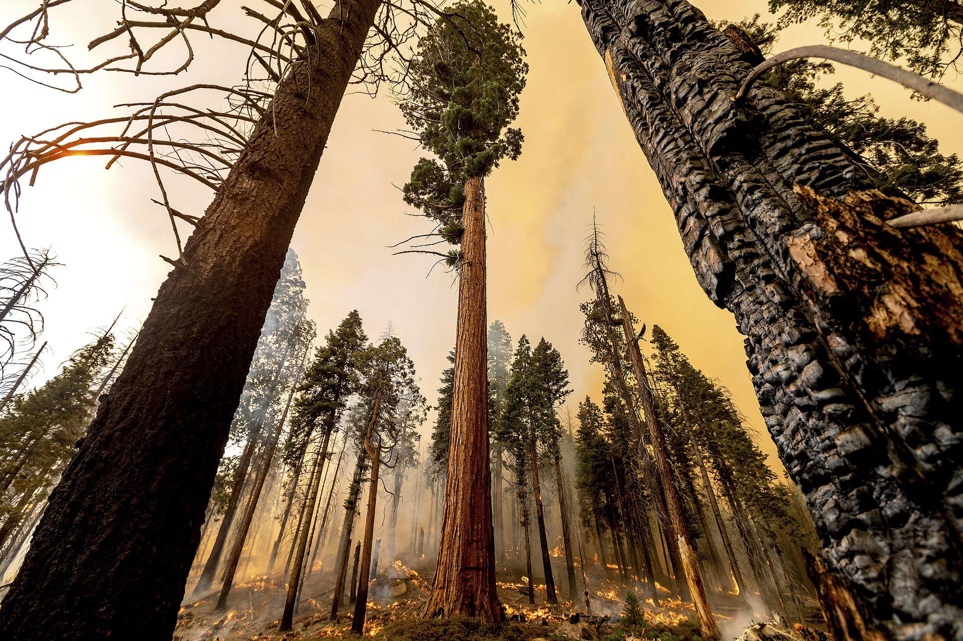 El fuego, que ya destruyó al menos dos secuoyas, se propaga rápidamente y los bomberos luchan para evitar un desastre
