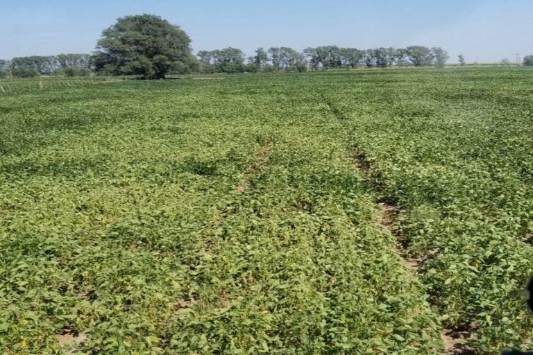 """Un lote de soja """"cocinado"""" por la falta de lluvias en Villa Mirasol, en La Pampa"""