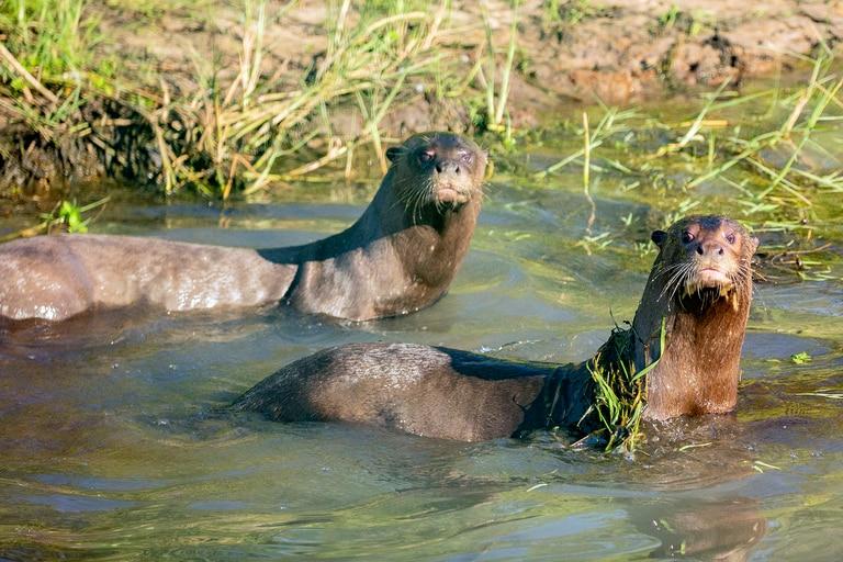 Alondra y Coco, los dos ejemplares adultos que fueron papás este 19 de mayo en el Parque Iberá, provincia de Corrientes