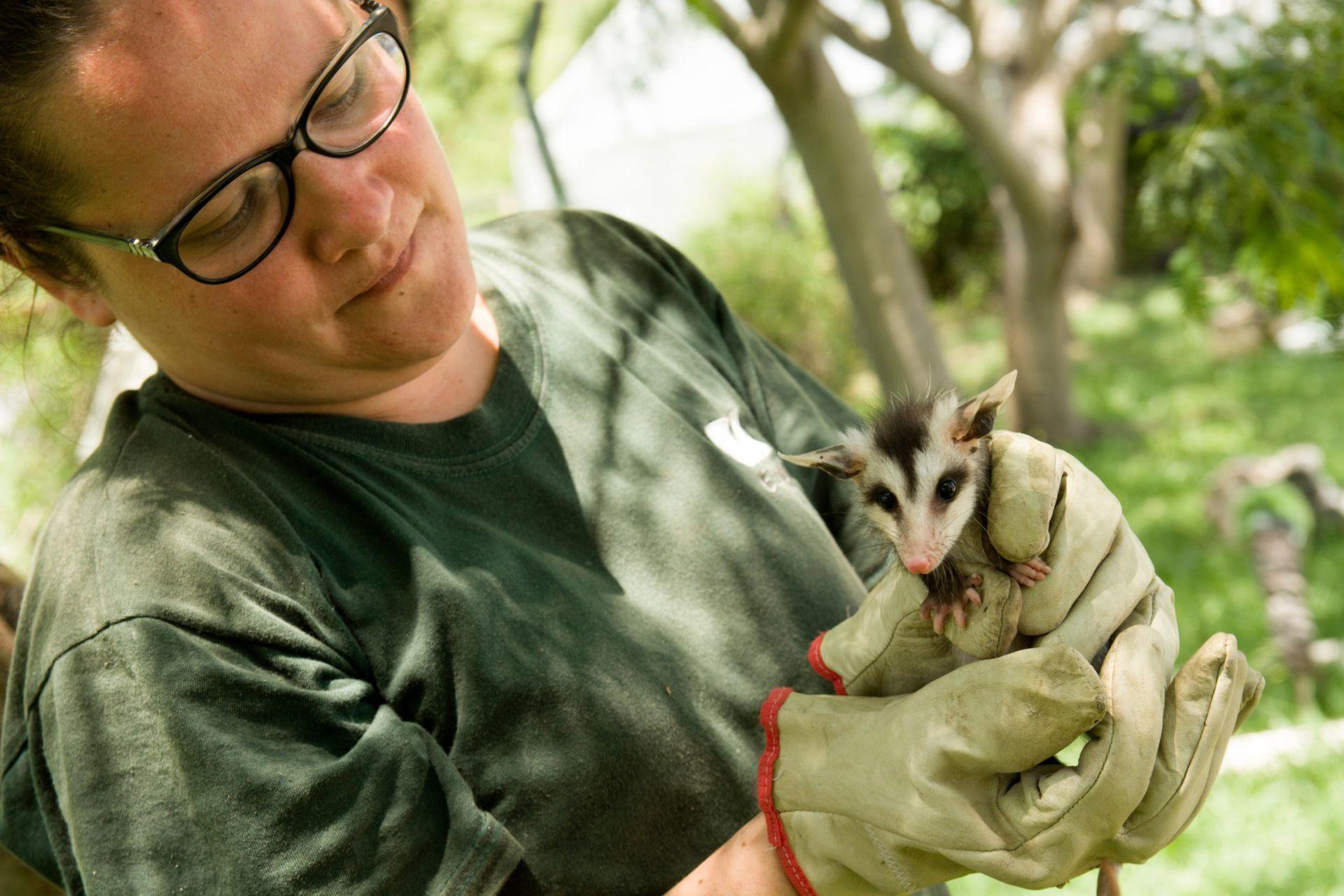 Cecilia Destefano asiste a una comadreja en el Centro de Rescate de Fauna Silvestre de la Costanera Sur