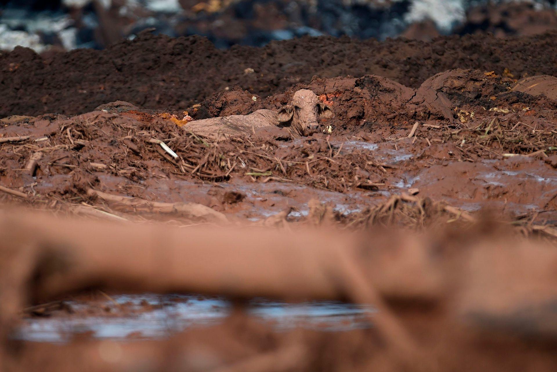 Cientos de animales quedaron atrapados en el barro