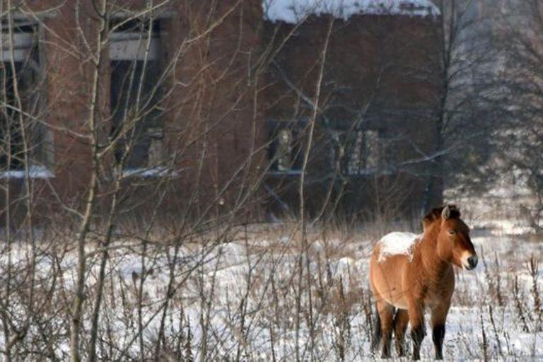 La vida salvaje volvió a ocupar los terrenos abandonados alrededor de Chernóbil