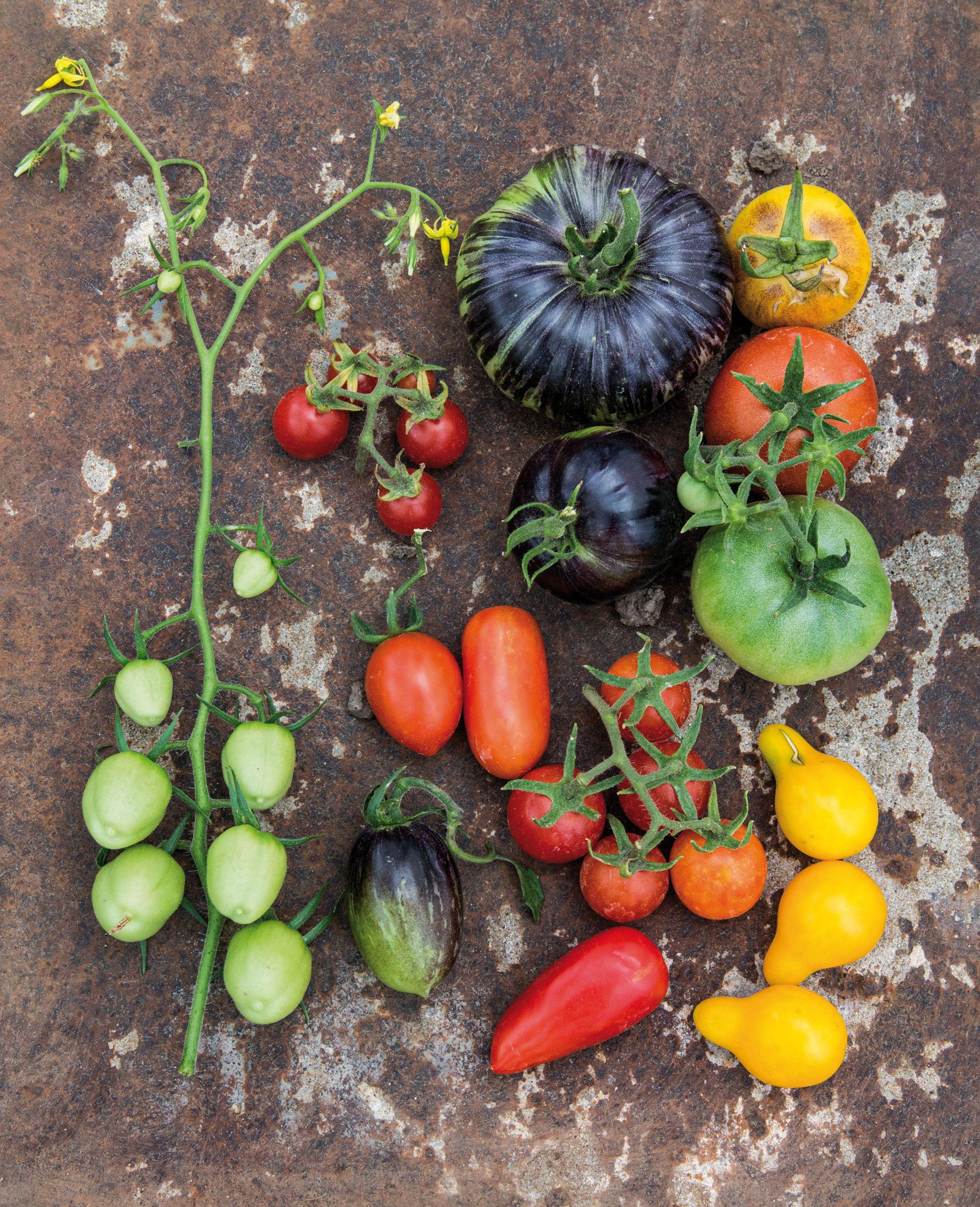 """Diferentes variedades de tomates, uno de los """"platos fuertes"""" de semillas del emprendimiento de  Gonzalo Ribelotti."""