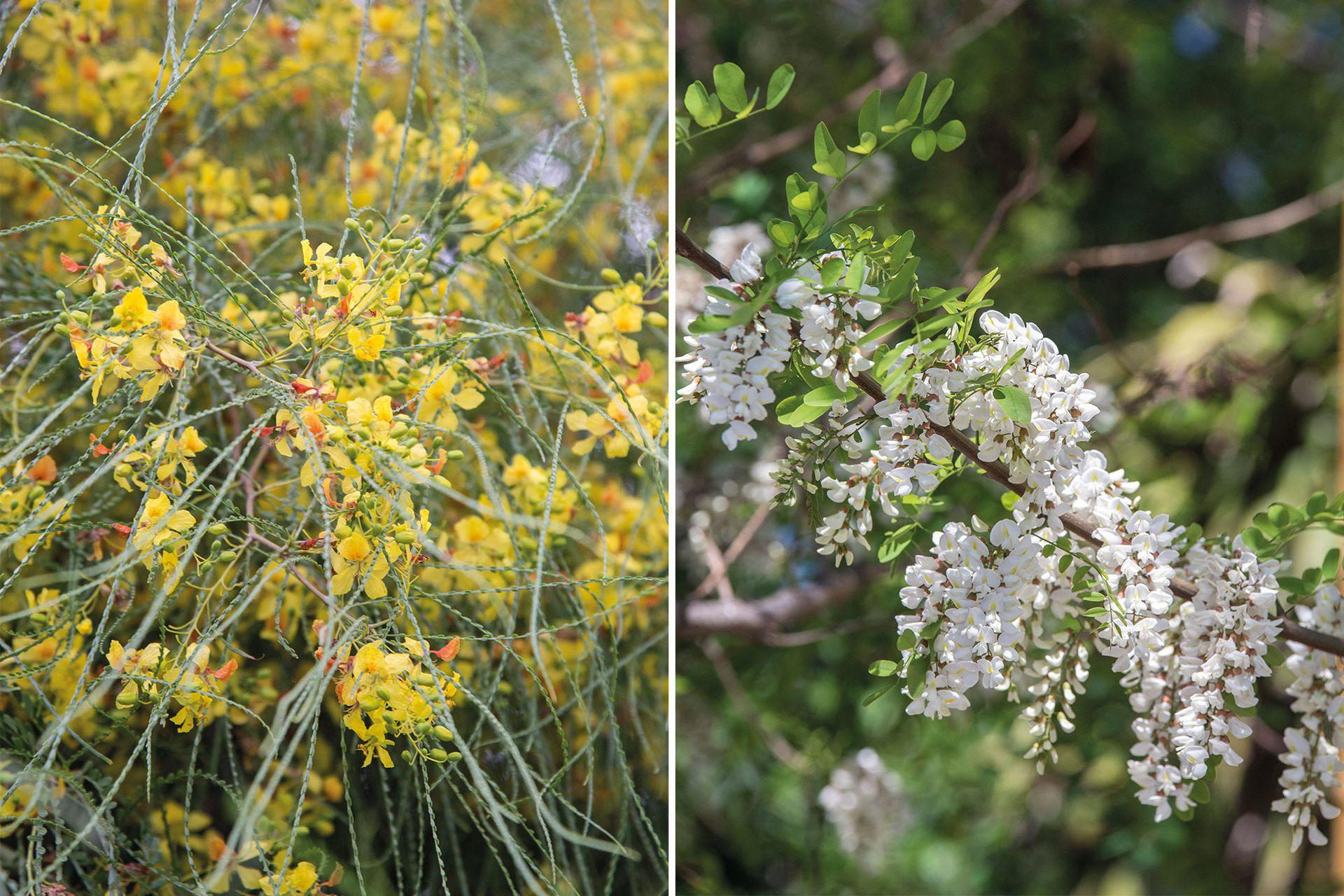 Cina-cina (Parkinsonia praecox) y acacia blanca (Robinia pesudoacacia), dos árboles para secano de poco y escaso riego.