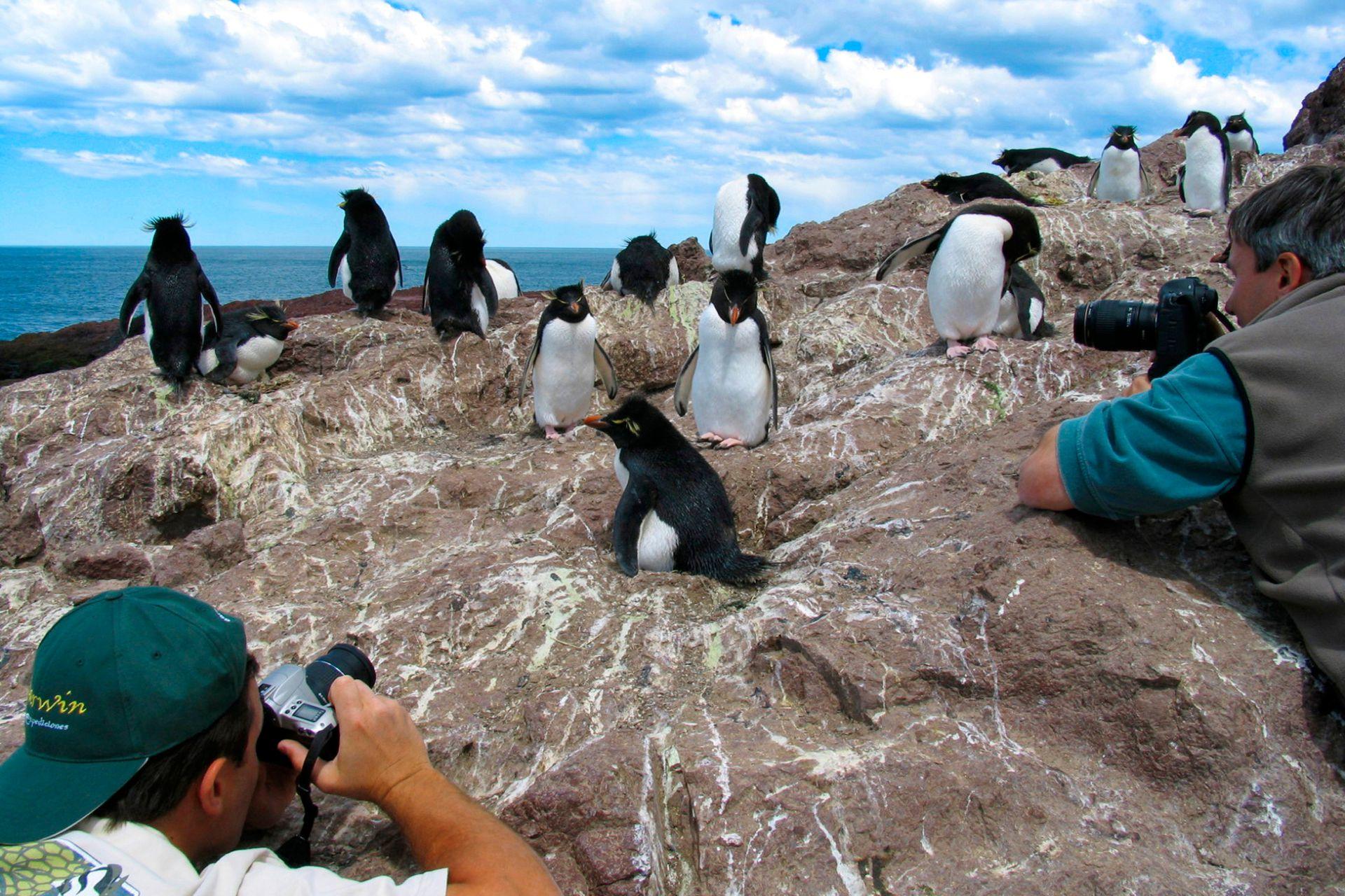 Los pingüinos de penacho amarillo, que miden poco más de 50 cm, son los protagonistas de la Isla Pingüino