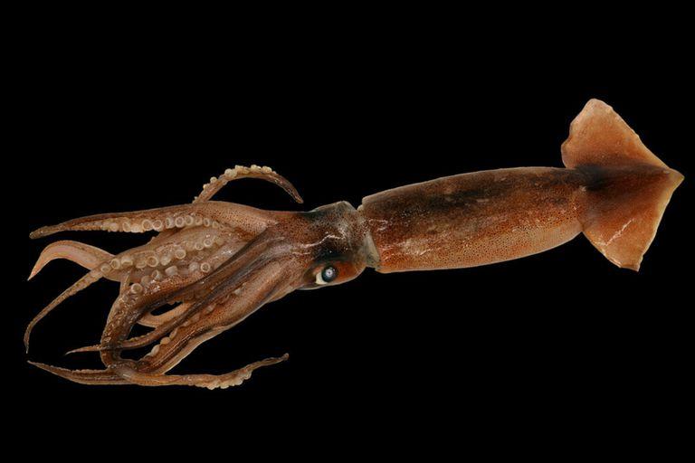 La especie pertenece al grupo de los llamados calamares Ommastrephidae