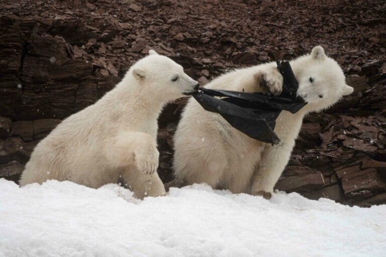 Triste imagen: hambrientos osos comen una bolsa de plástico en un glaciar