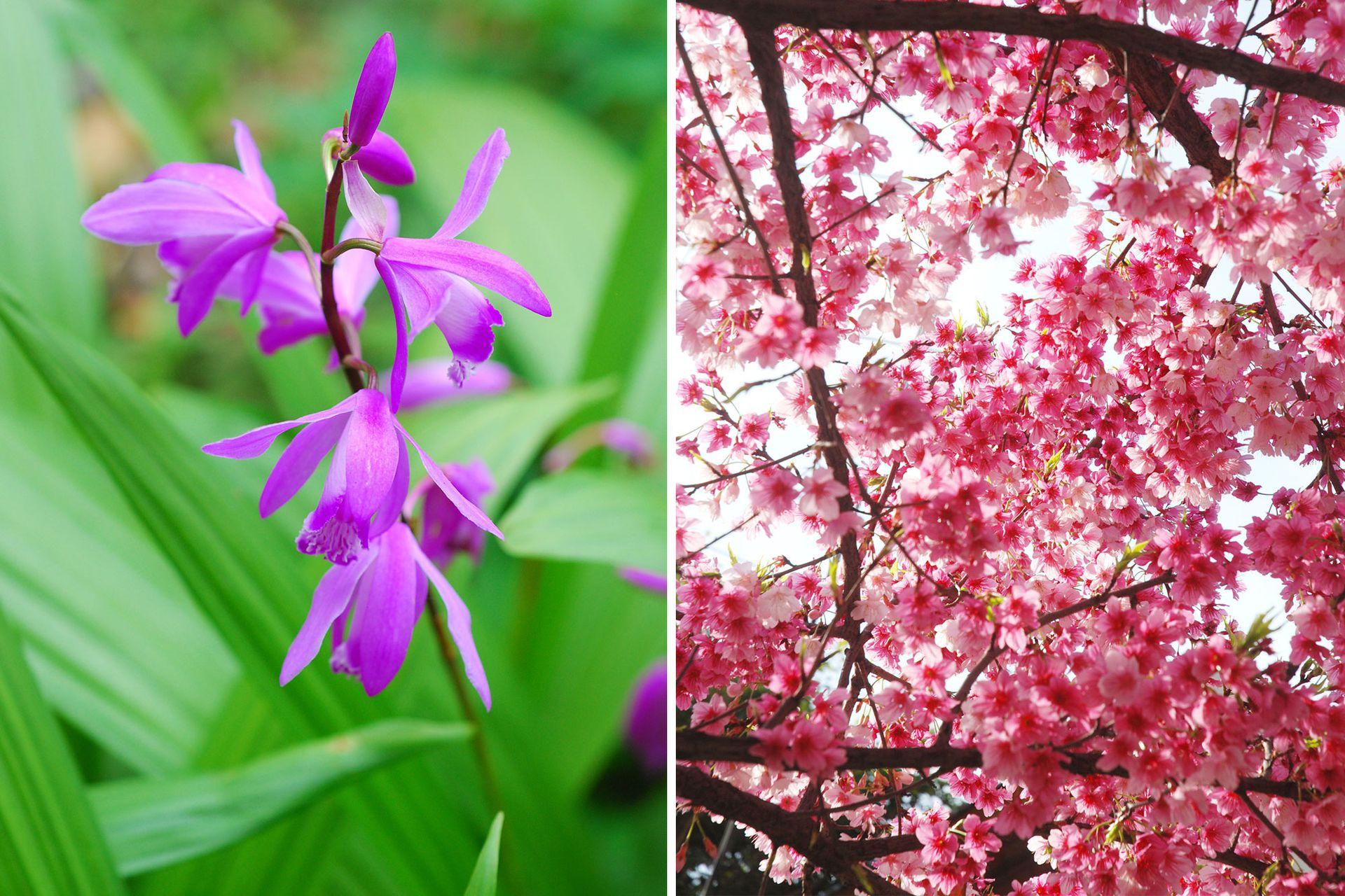 Izquierda: Bletilla striata, una orquídea terrestre, rústica en zonas de clima templado cálido. Florece en primavera. Derecha: Prunus campanulata es el cerezo de flor que mejor crece en zonas templadas y cálidas. Pequeño árbol con flores que van del fucsia al rosa pálido. Las hojas toman coloraciones rojizas en otoño.