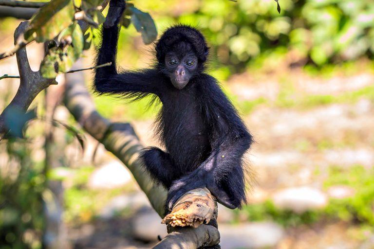 Un mono araña joven en el Parque Nacional del Manu, en la selva amazónica de Perú