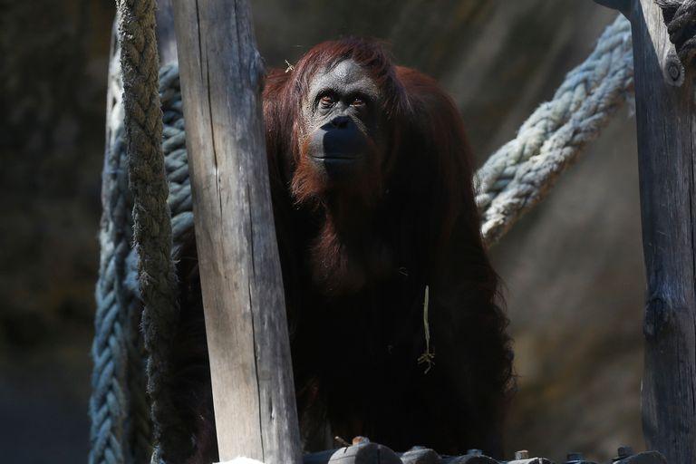 De Alemania a Estados Unidos, cómo fue el largo periplo de la orangutana Sandra