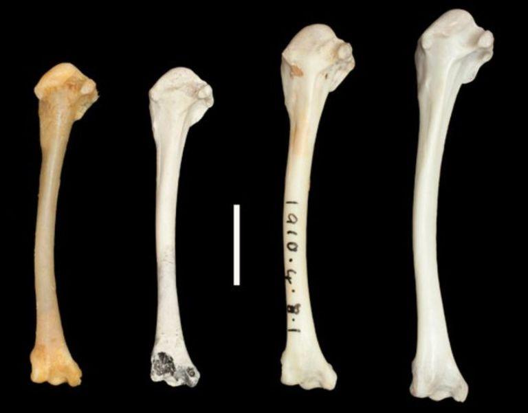 De izq. a der., huesos de rálido de Aldabra actual (no volador), rálido de Aldabra de hace 136.000 años (no volador), rálido de Asunción (recientemente extinto, en el proceso de perder la capacidad de volar), rálido de garganta blanca (antepasado del rálido de Aldabra y Asunción, volador)
