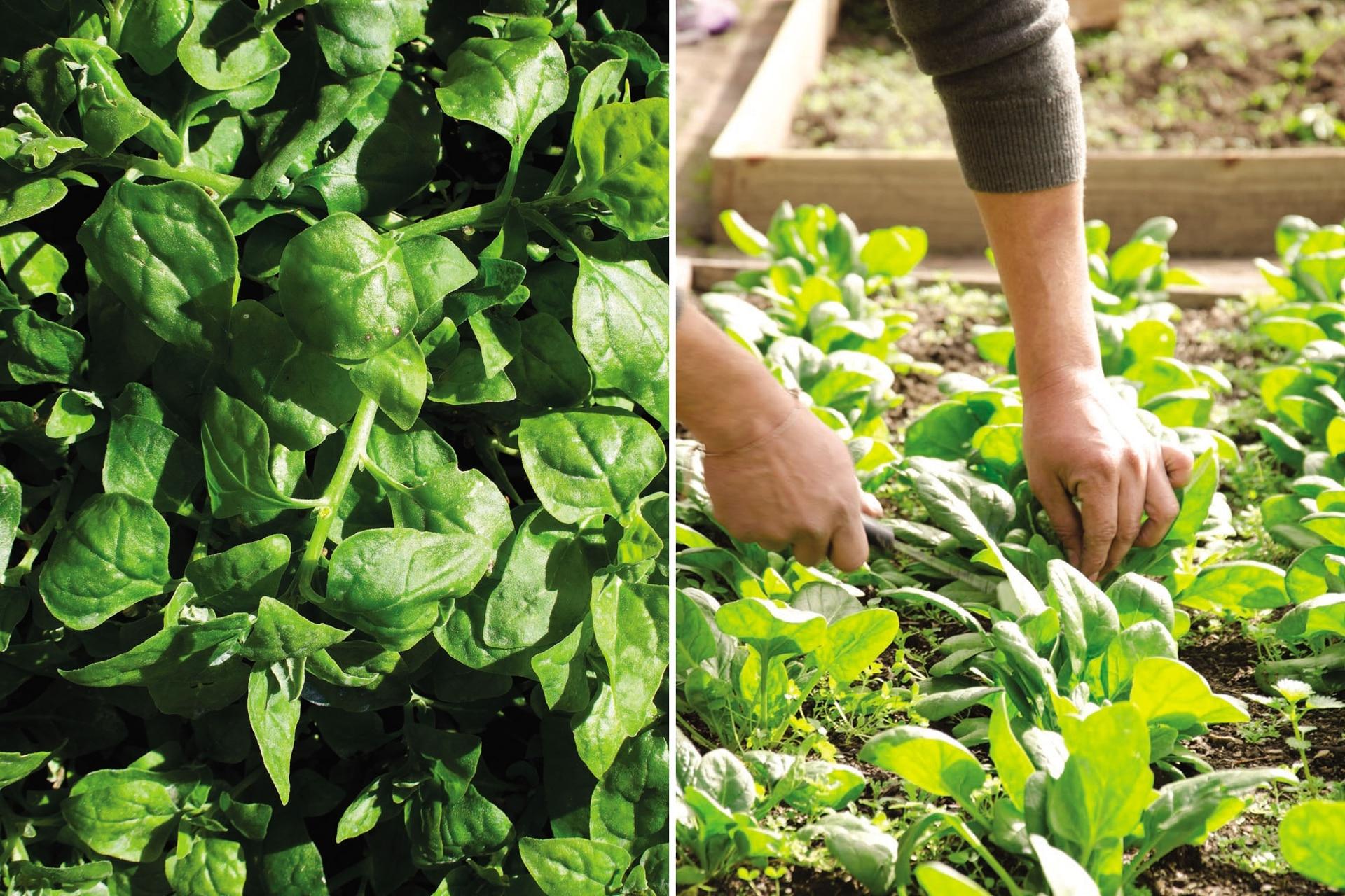 La espinaca también permite la siembra en almácigos, para luego trasplantarla al cantero.