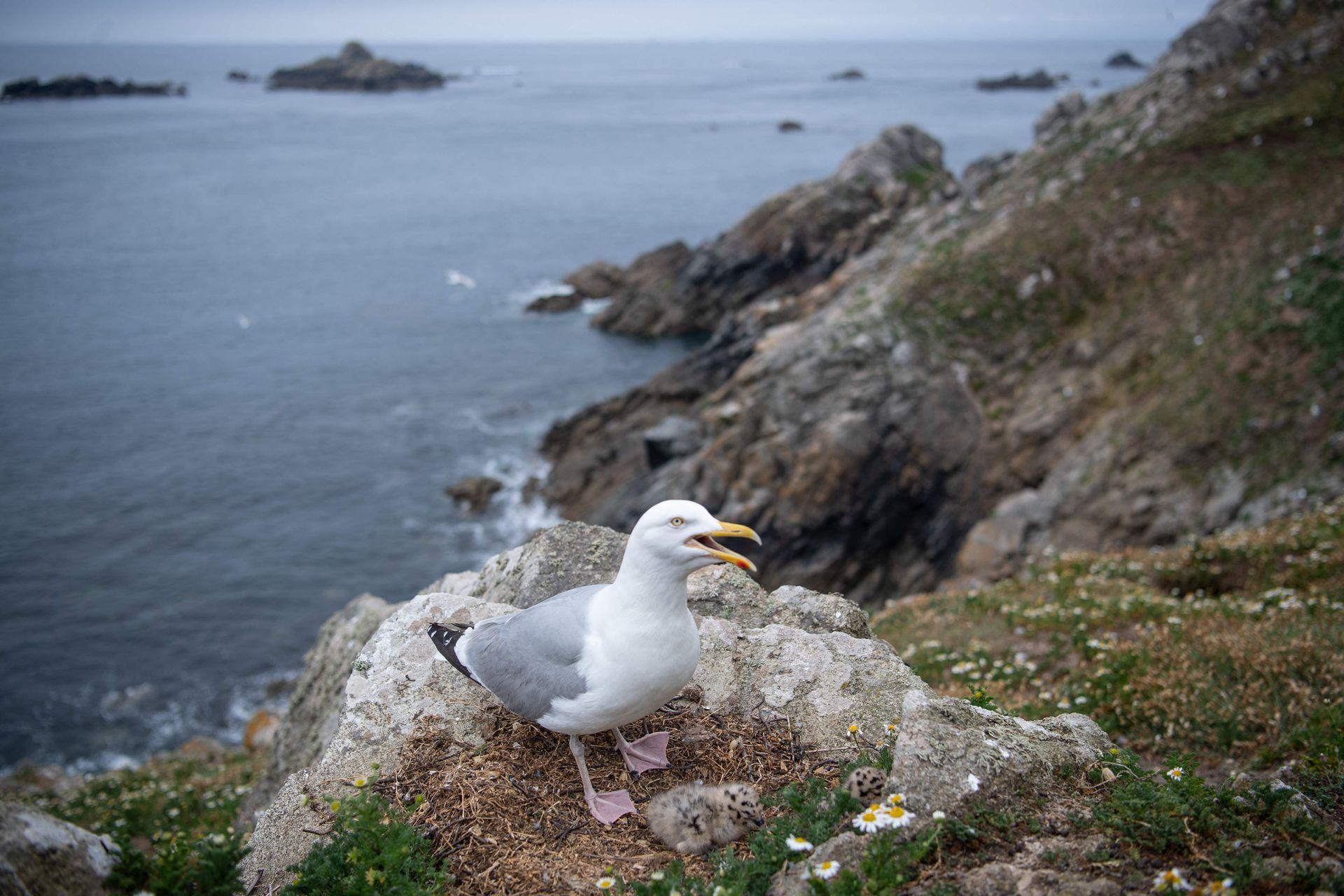 """Una gaviota con polluelos en la """"Ile aux Moines"""" en el santuario de aves """"7 iles"""""""