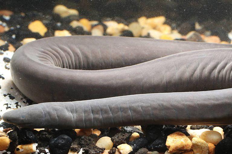 Hallan en EE.UU. un raro anfibio con forma de fideo originario de Sudamérica
