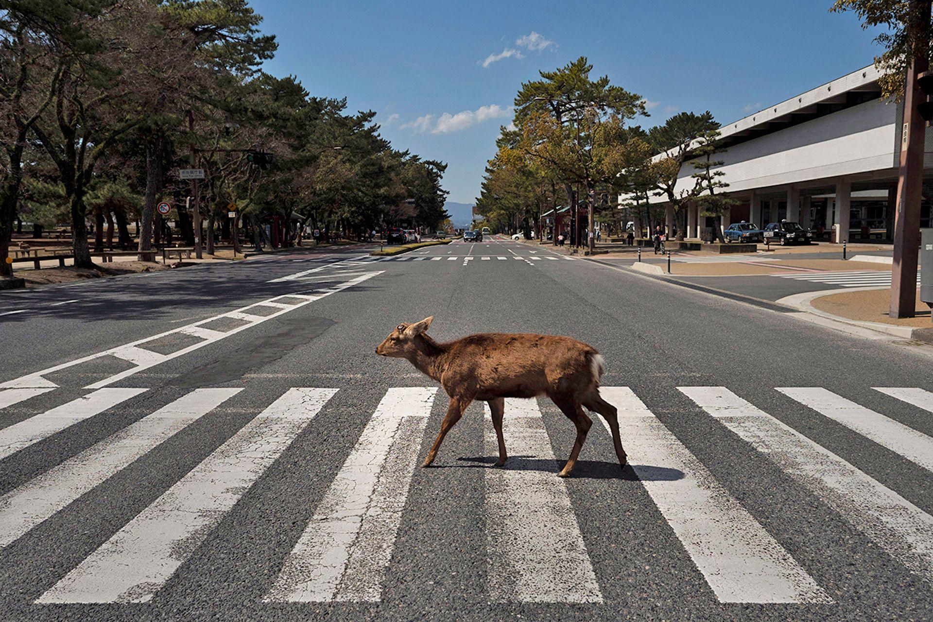 A pesar de la disminución del turismo en la ciudad, estos animales salvajes están bien sin golosinas de los turistas, según un grupo de protección de venados
