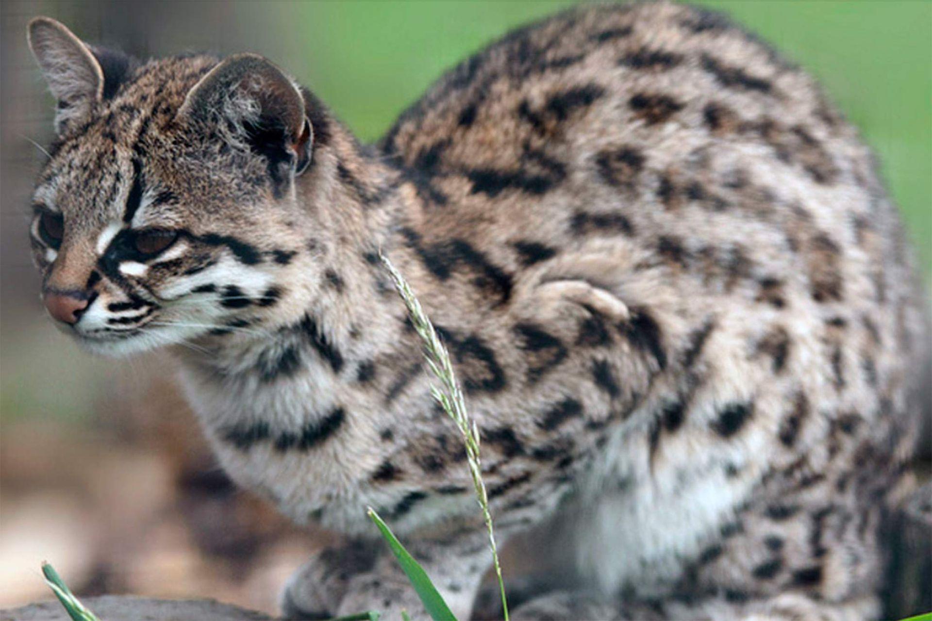 La contextura del cuerpo de la Tirica, su huella y su maullido pueden pasar por el de un gato doméstico.