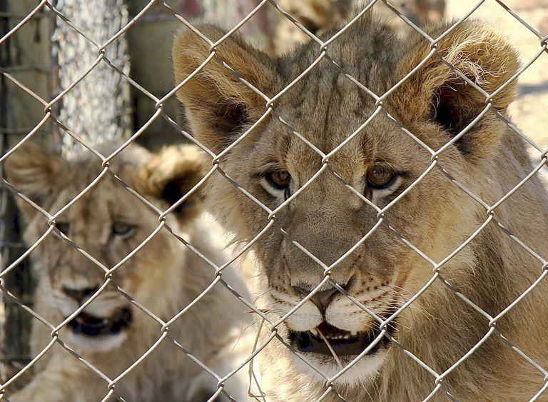 Los leones son una especie en riesgo cuya población disminuyó un 98 % en los últimos dos siglos