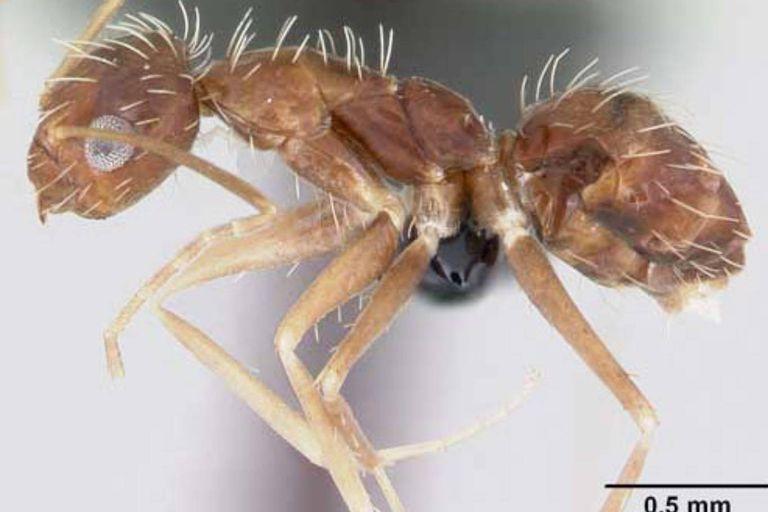 Los ejemplares de la hormiga loca fueron hallados en el puerto de Barcelona y es una especie inédita en Cataluña, aunque ya había sido detectada en otras regiones de España
