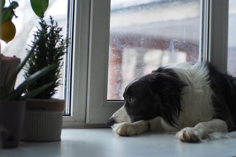 Perros tristes con la vuelta al trabajo de sus dueños