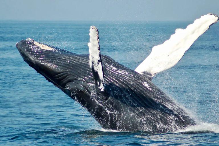 Se estima que existen 60 mil ejemplares de la ballena jorobada que se tragó al buzo