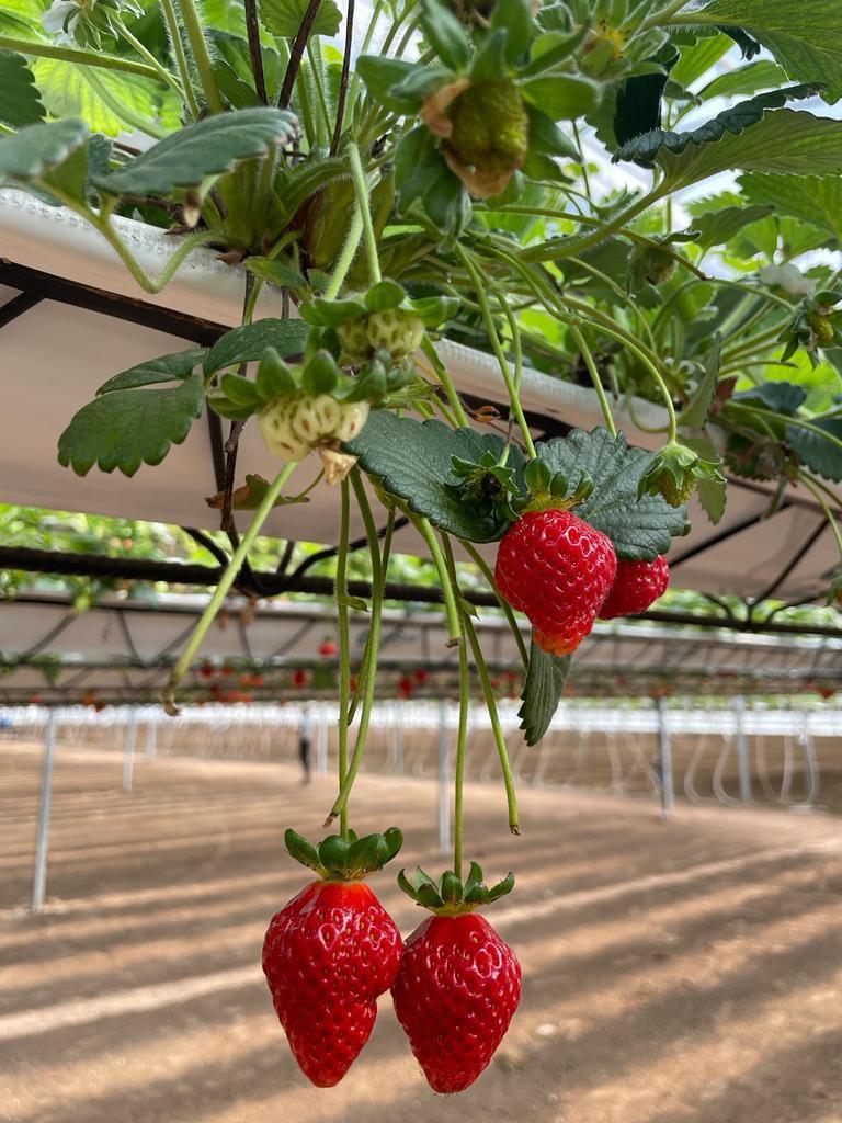 Producen tres variedades de frutillas: Albion, Monterrey y San Andreas.