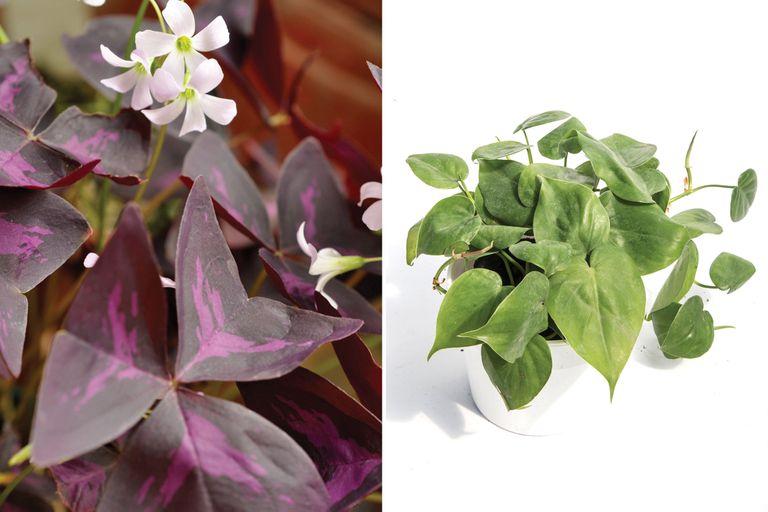 Izq: Oxalis. Der.: Philodendron