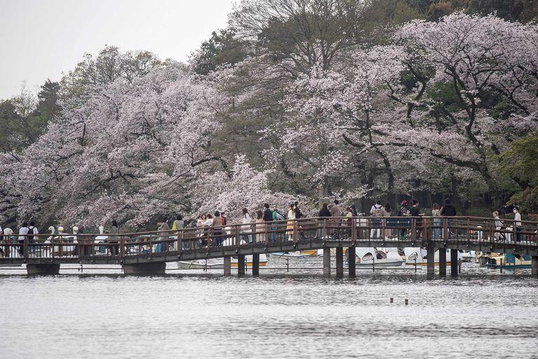 En fotos: por primera vez en 1200 años, los cerezos florecieron antes en Japón