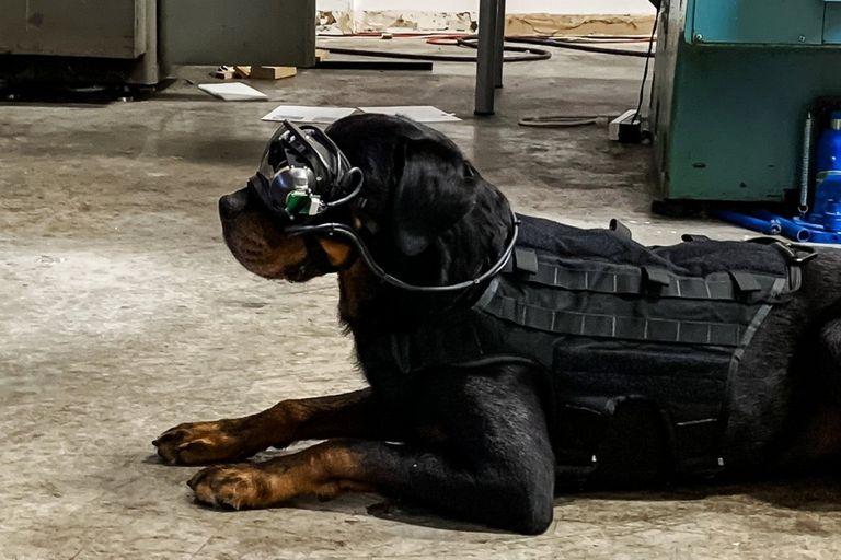 El ejército estadounidense prueba gafas de realidad aumentada en perros para que el guía pueda darle órdenes direccionales mientras se mantiene a distancia