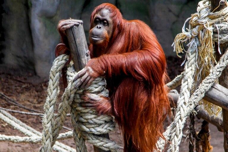 Sandra, de 33 años, es la primera gran simio considerada persona no humana sujeta a derechos