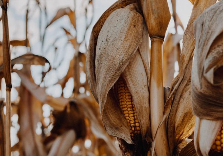 Maíz tardío: en 2019/20 las siembras tardías ocuparon tres millones de hectáreas en todo el país