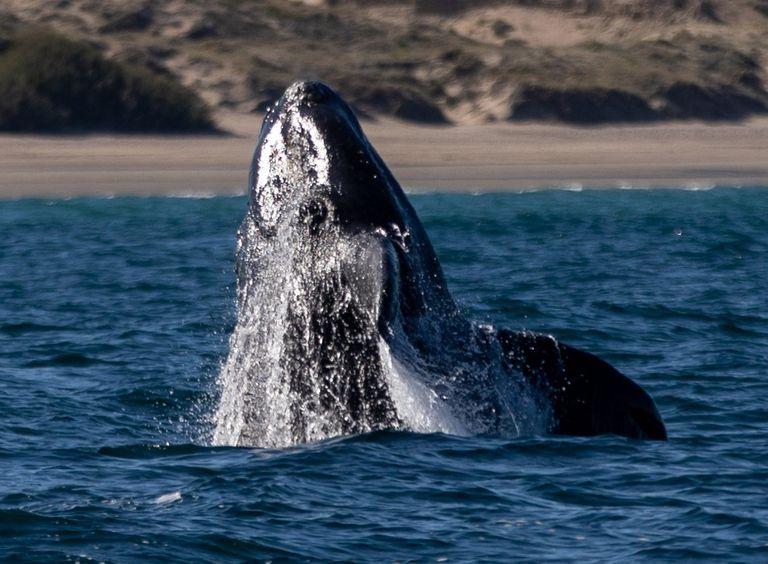 Ballenas: cómo estudian los biólogos a un animal que fascina