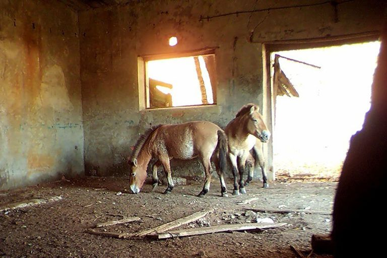 Edificaciones abandonadas en la zona de exclusión de Chernobyl proporcionan refugio para una especie equina en peligro de extinción y un recurso para garantizar su supervivencia
