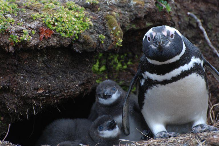 Pingüinos de Magallanes hallados en Isla de los Estados, al este de Tierra del Fuego.