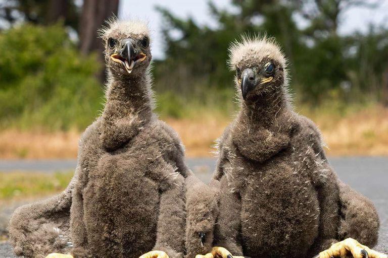 Pichones alerta: cayeron del nido y tomaron una sabia decisión para salvarse