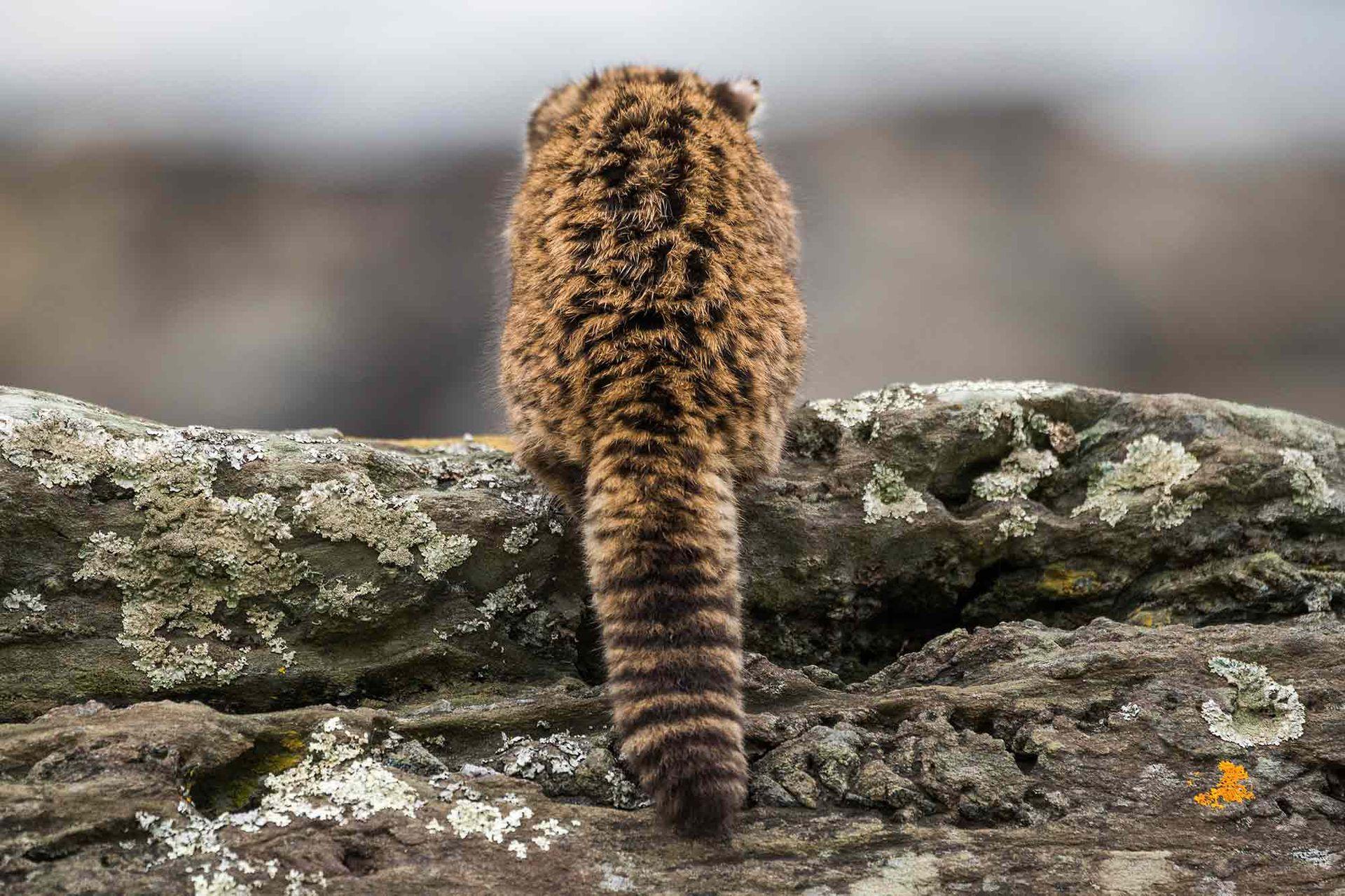 El Gato Huiña tiene pelaje largo y grueso y cola ancha. En nuestro país, habita en diferentes zonas de la Patagonia.