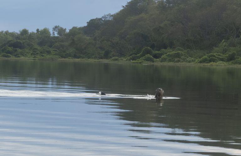 El ejemplar de nutria gigante avistado en el Río Bermejo (Gentileza Sebastián Di Martino)