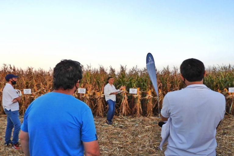 El principal objetivo de la Red del INTA Marcos Juárez es evaluar el comportamiento de los híbridos de maíz en el mercado