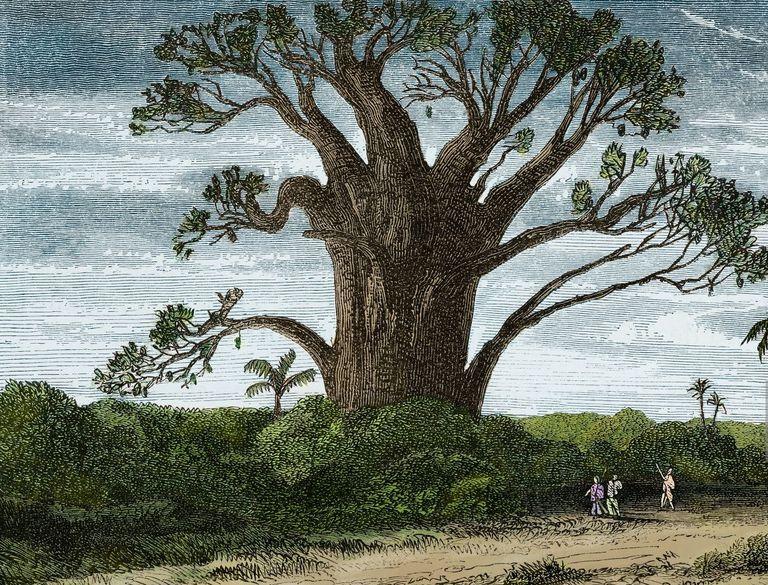 Baobab, Madagascar, diseño de Evremond de Berard (1824-1881) del viaje de Ida Pfeiffer (1797-1858).