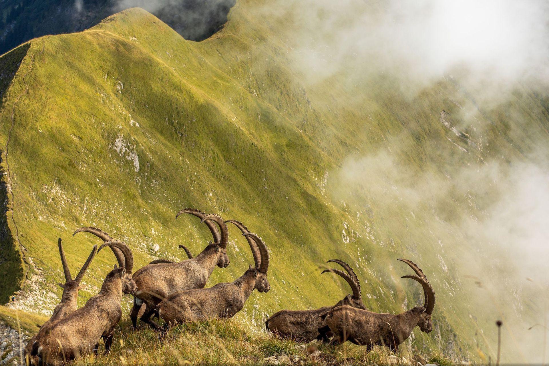 Mención de Honor, categría Naturaleza, la imagen es de Jonas Schäfer, Una manada de cabras montesas en el Oberland bernés de Suiza cruza una cresta sobre el lago Brienz