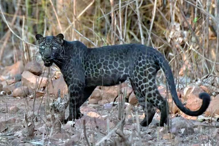 India: avistan a un extraño leopardo negro durante un safari