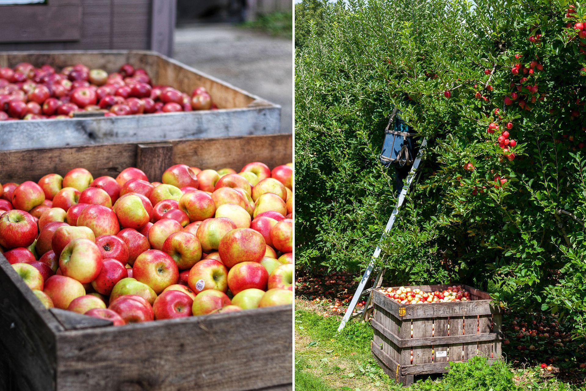La cosecha de manzanas, fruto del árbol Malus domestica, se realiza entre el verano y el otoño, mientras que la plantación debe realizarse entre el otoño y el invierno.