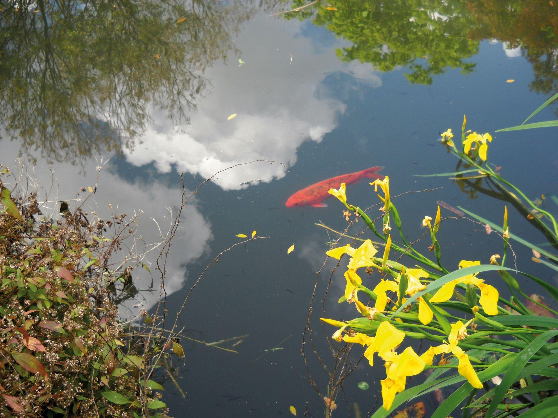 Las carpas, una especie que amenaza el equilibrio natural del estanque