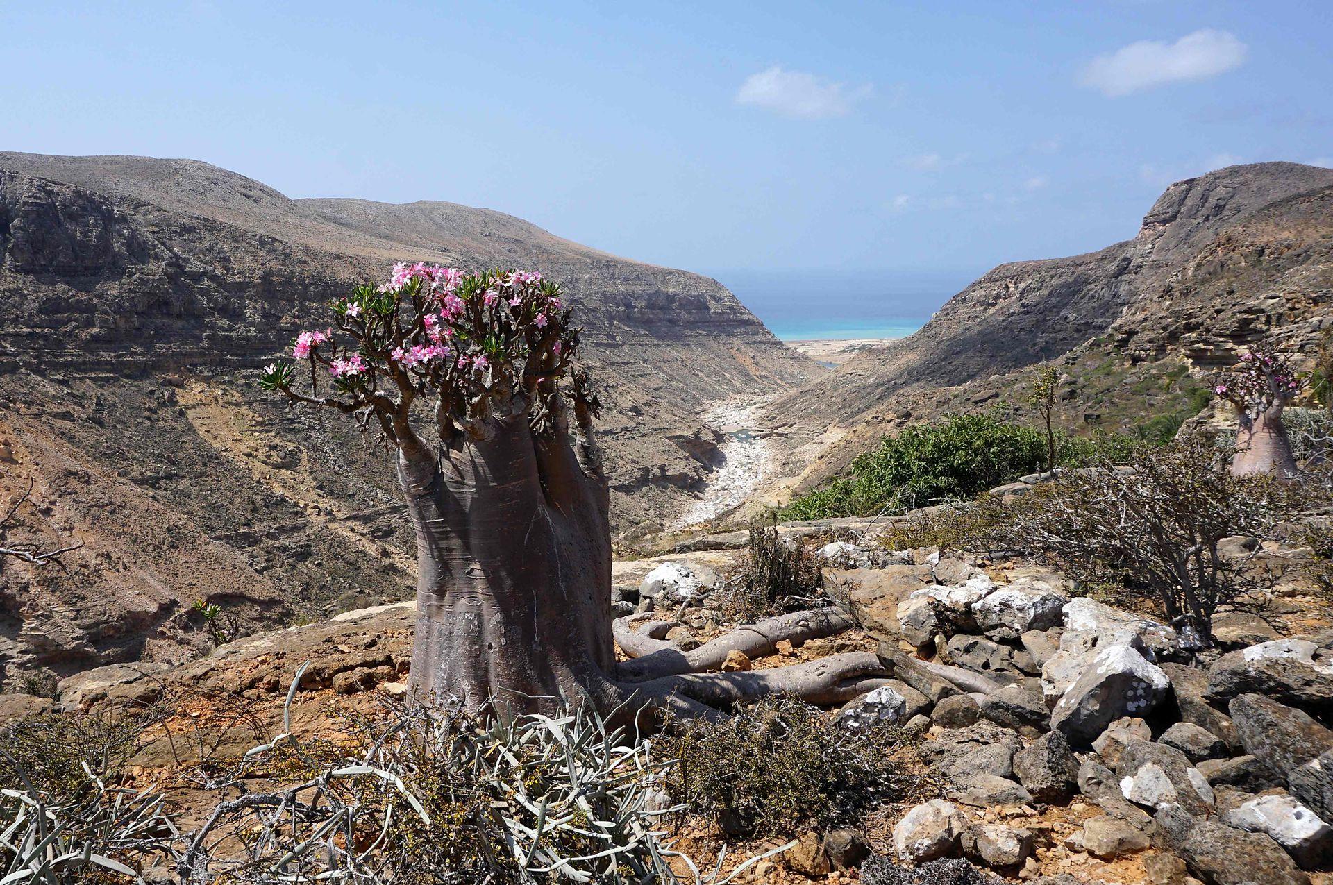 Un árbol de botella en flor, o rosa del desierto