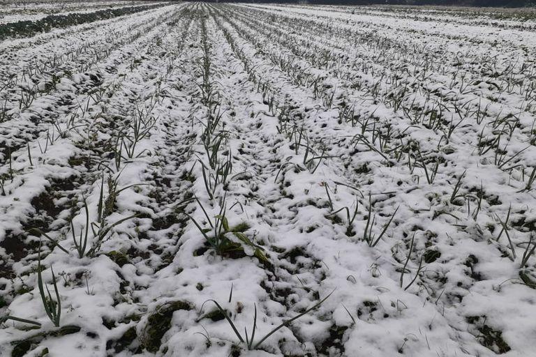 Así quedó el cinturón hortícola en Córdoba tras la nieve