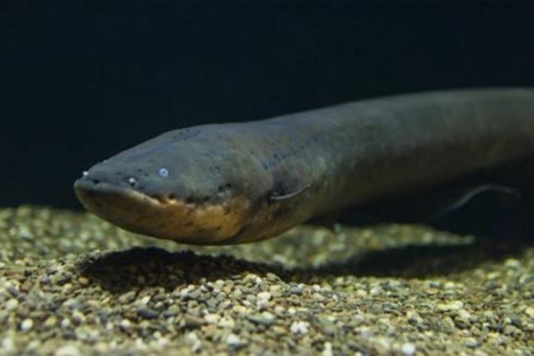 Los hallazgos anulan la idea de que estos peces serpentinos son depredadores exclusivamente solitarios